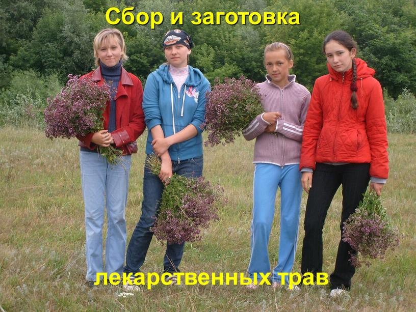 Сбор и заготовка лекарственных трав