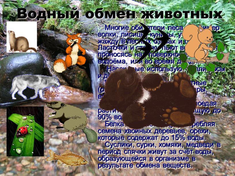 Водный обмен животных Многие обитатели леса, например волки, лисицы, куницы, утоляют жажду в лесных озёрах и болотах