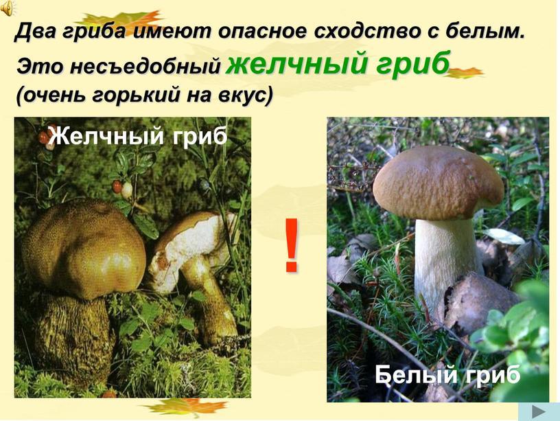 Два гриба имеют опасное сходство с белым