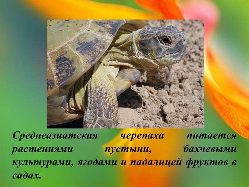 Среднеазиатская черепаха питается растениями пустыни, бахчевыми культурами, ягодами и падалицей фруктов в садах