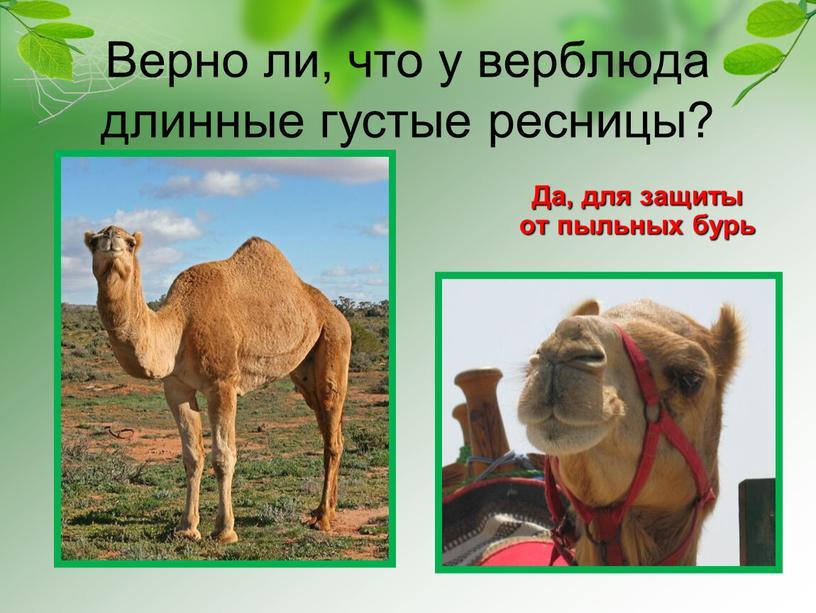 Верно ли, что у верблюда длинные густые ресницы?