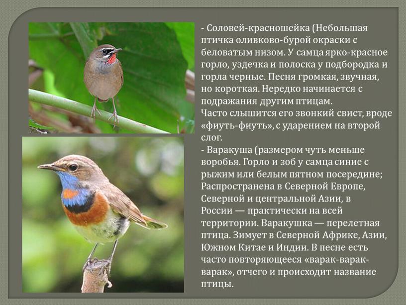 Соловей-красношейка (Небольшая птичка оливково-бурой окраски с беловатым низом