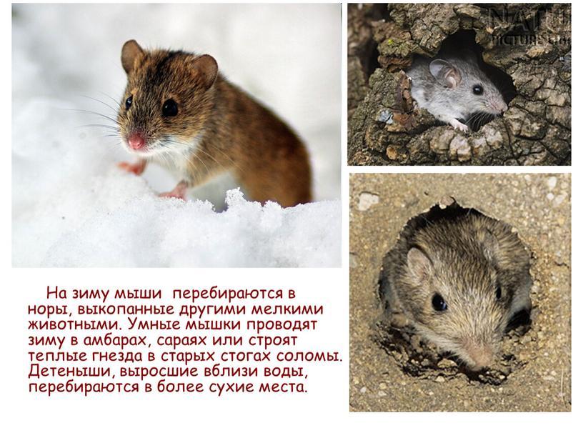 На зиму мыши перебираются в норы, выкопанные другими мелкими животными