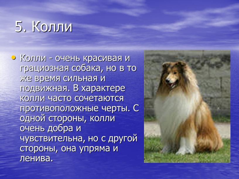 Колли Колли - очень красивая и грациозная собака, но в то же время сильная и подвижная
