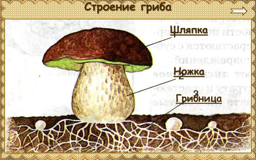 Ножка Грибница Строение гриба Шляпка