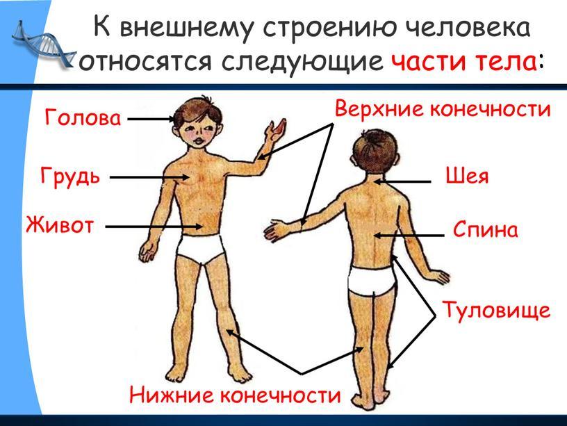 К внешнему строению человека относятся следующие части тела: