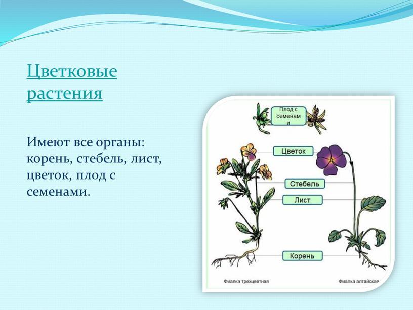 Цветковые растения Имеют все органы: корень, стебель, лист, цветок, плод с семенами