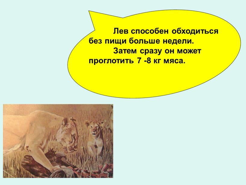 Лев способен обходиться без пищи больше недели
