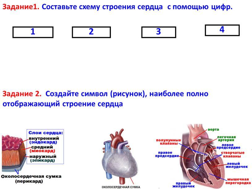 Задание1. Составьте схему строения сердца с помощью цифр