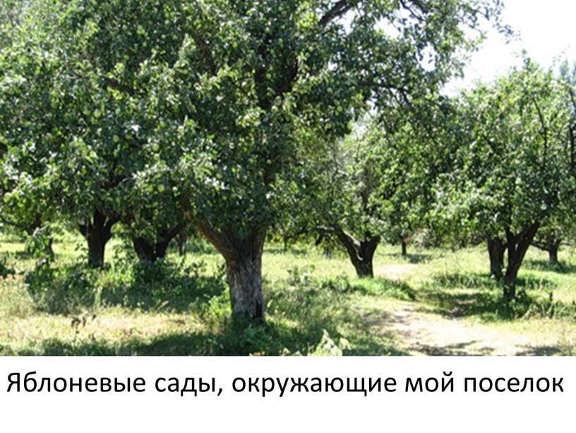 Яблоневые сады, окружающие мой поселок