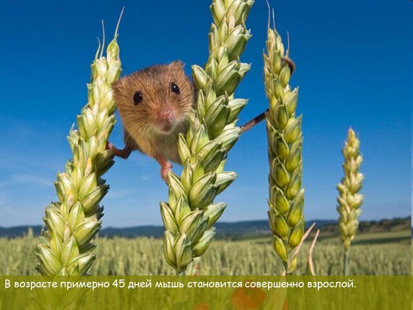 В возрасте примерно 45 дней мышь становится совершенно взрослой