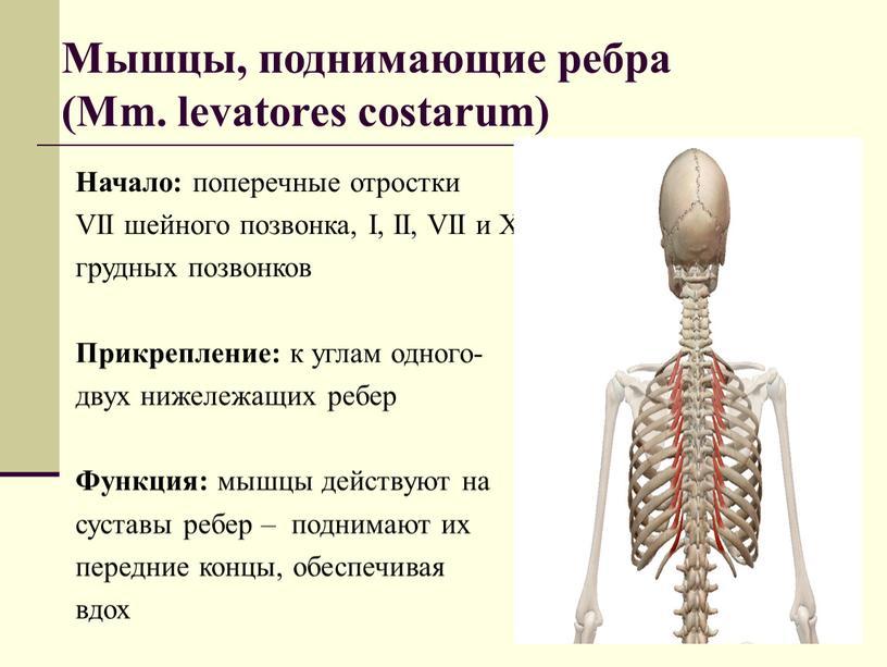 Мышцы, поднимающие ребра (Mm. levatores costarum)