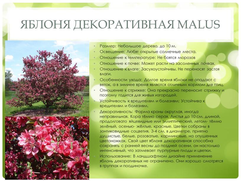 Яблоня декоративная Malus Размер: