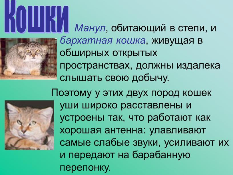 Манул , обитающий в степи, и бархатная кошка , живущая в обширных открытых пространствах, должны издалека слышать свою добычу