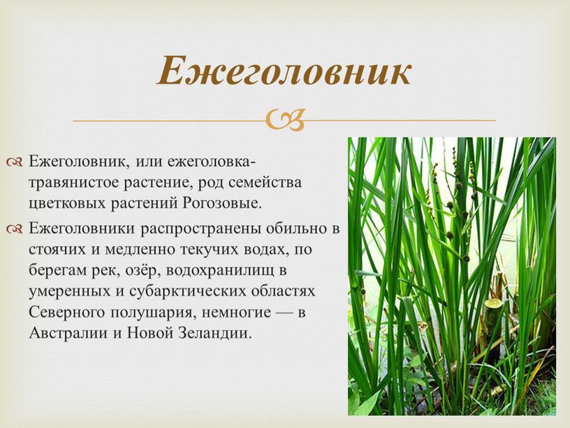 Ежеголовник, или ежеголовка-травянистое растение, род семейства цветковых растений