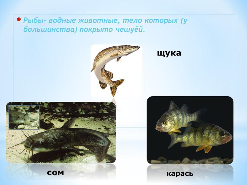 Рыбы- водные животные, тело которых (у большинства) покрыто чешуёй
