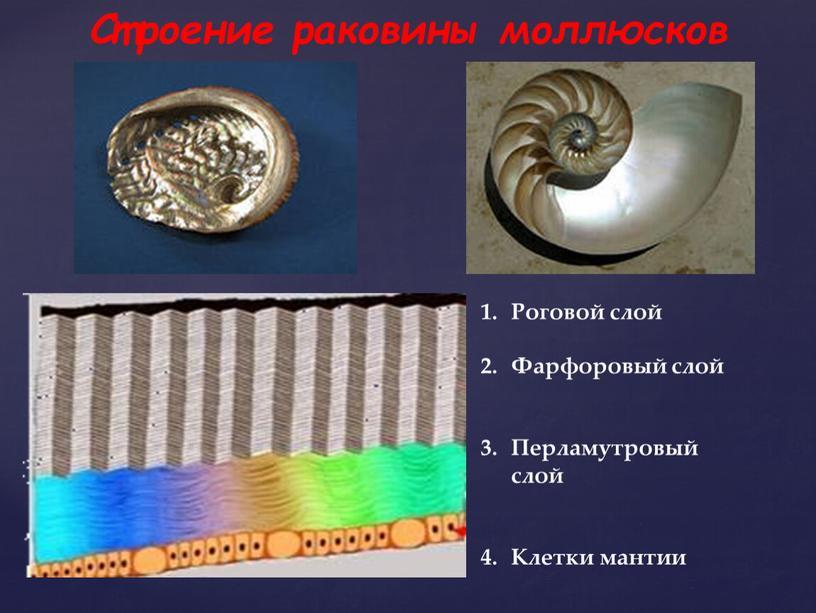 Строение раковины моллюсков Роговой слой