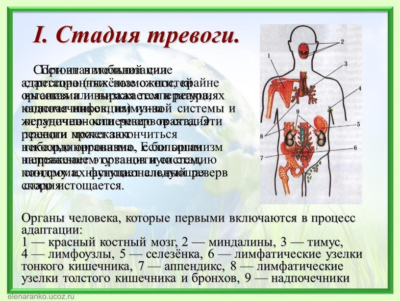 I. Стадия тревоги. Состоит в мобилизации адаптационных возможностей организма и выражается в реакциях надпочечников, иммунной системы и желудочно- кишечного тракта