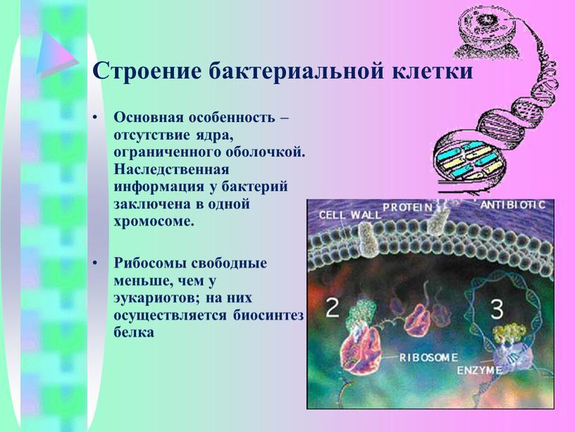 Строение бактериальной клетки Основная особенность – отсутствие ядра, ограниченного оболочкой