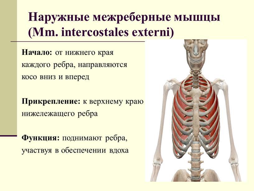 Наружные межреберные мышцы (Mm