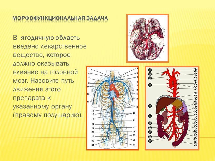 Морфофункциональная задача В ягодичную область введено лекарственное вещество, которое должно оказывать влияние на головной мозг