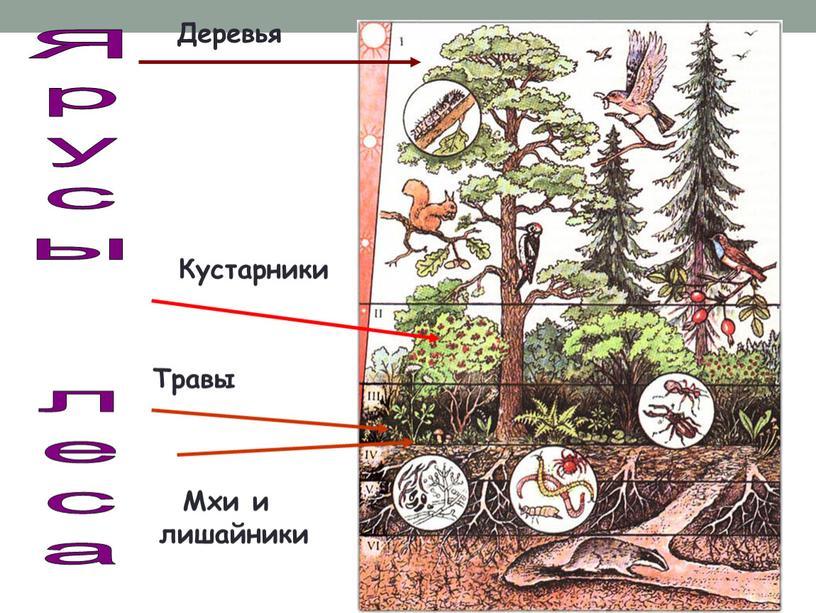 Ярусы леса Деревья Кустарники