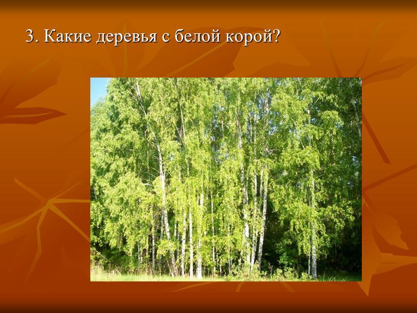 3. Какие деревья с белой корой?