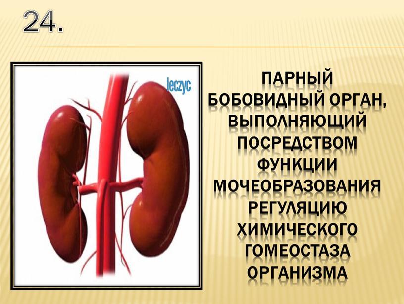 24. парный бобовидный орган, выполняющий посредством функции мочеобразования регуляцию химического гомеостаза организма