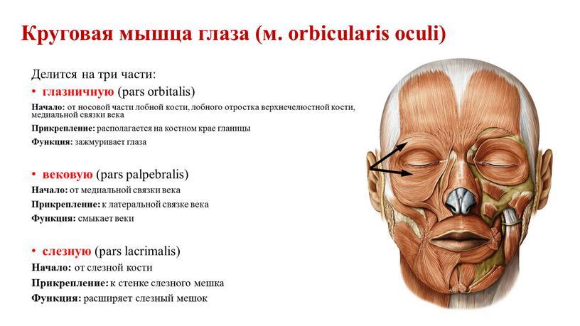 Круговая мышца глаза (м. orbicularis oculi)
