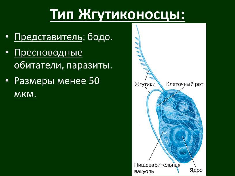 Тип Жгутиконосцы: Представитель : бодо