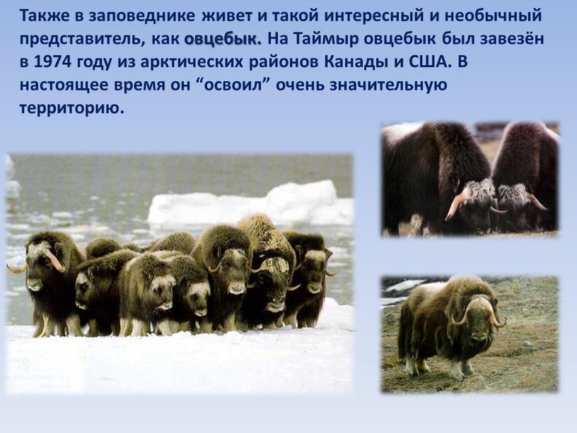 Также в заповеднике живет и такой интересный и необычный представитель, как овцебык