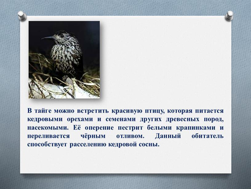 В тайге можно встретить красивую птицу, которая питается кедровыми орехами и семенами других древесных пород, насекомыми