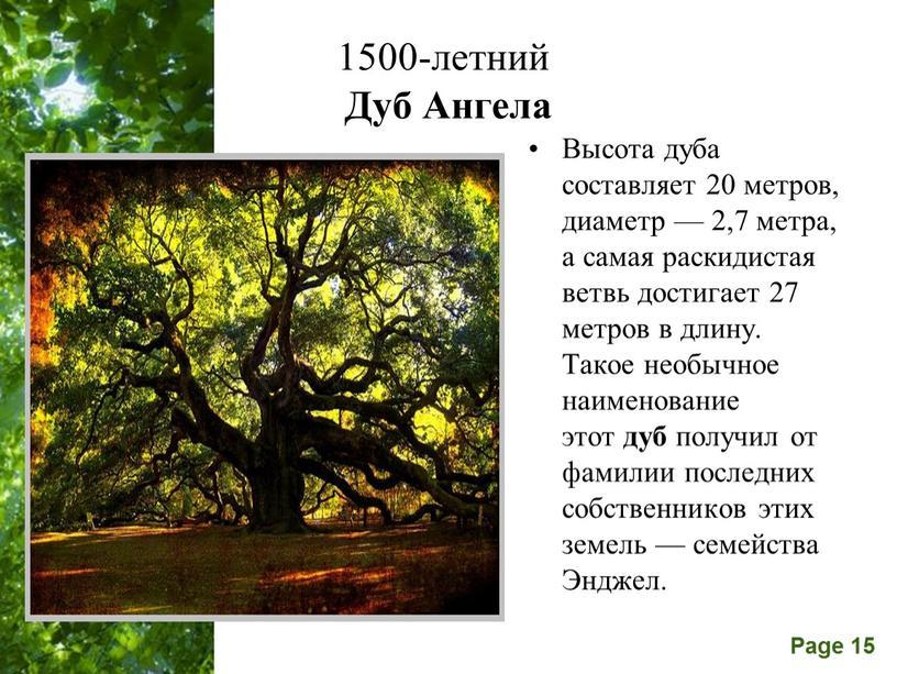 Дуб Ангела Высота дуба составляет 20 метров, диаметр — 2,7 метра, а самая раскидистая ветвь достигает 27 метров в длину