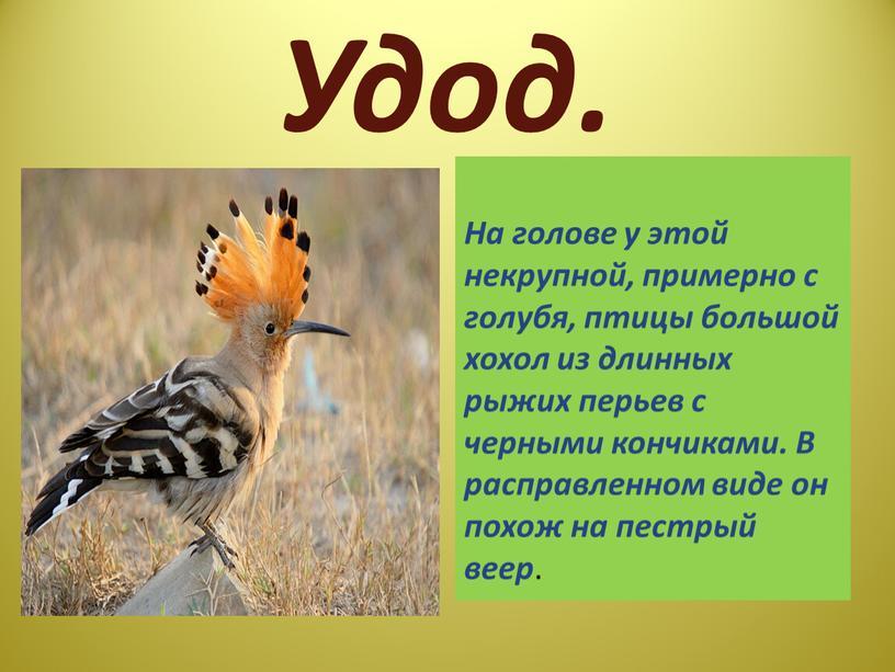 Удод. На голове у этой некрупной, примерно с голубя, птицы большой хохол из длинных рыжих перьев с черными кончиками