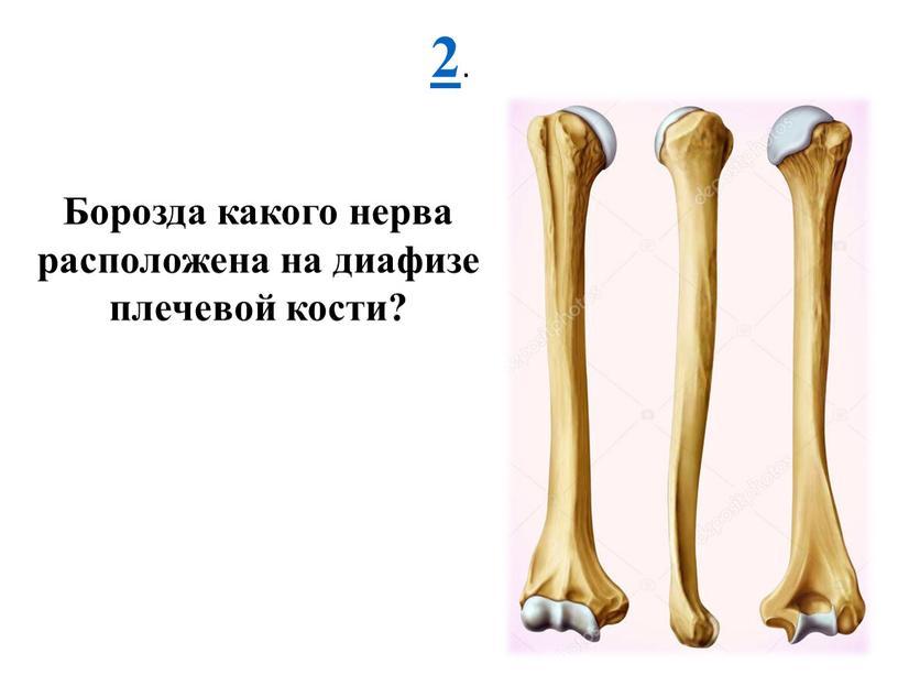 Борозда какого нерва расположена на диафизе плечевой кости?