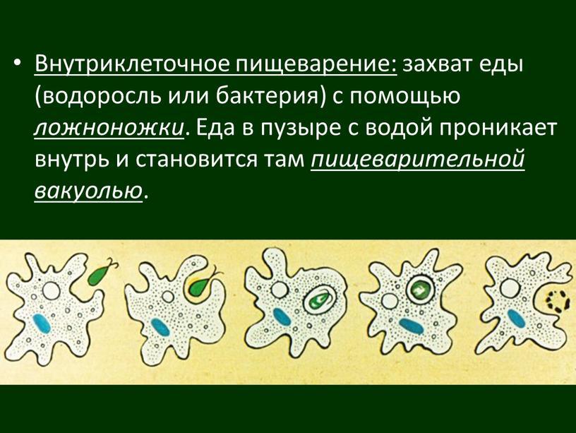 Внутриклеточное пищеварение: захват еды (водоросль или бактерия) с помощью ложноножки