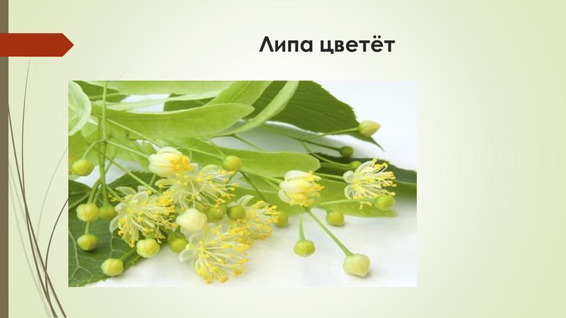 Липа цветёт