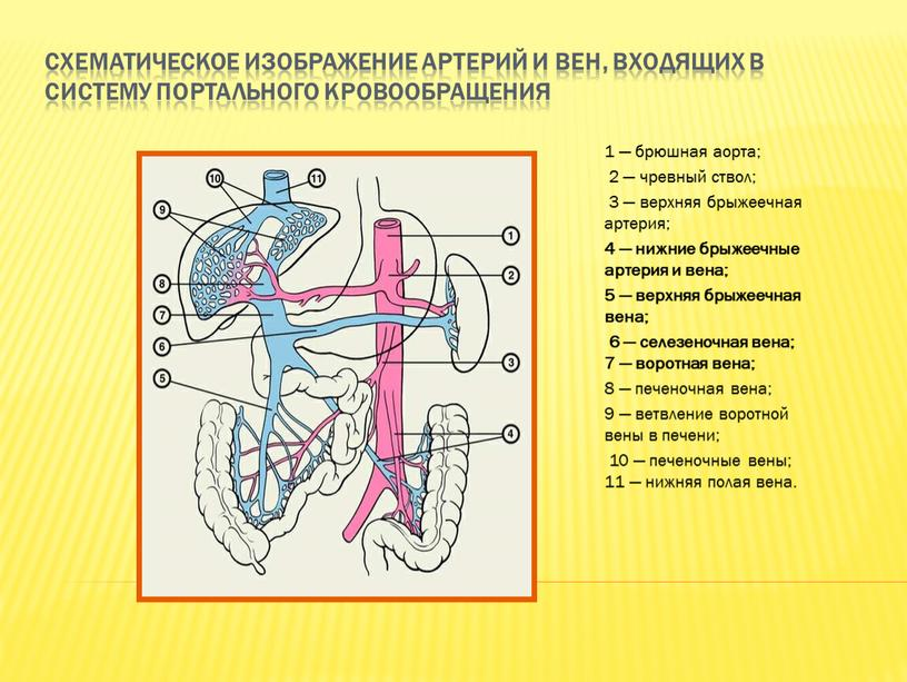 Схематическое изображение артерий и вен, входящих в систему портального кровообращения 1 — брюшная аорта; 2 — чревный ствол; 3 — верхняя брыжеечная артерия; 4 —…