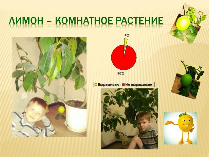 Лимон – комнатное растение