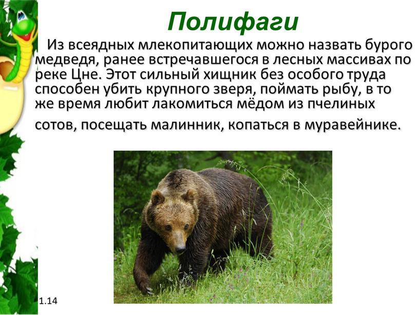 Полифаги Из всеядных млекопитающих можно назвать бурого медведя, ранее встречавшегося в лесных массивах по реке