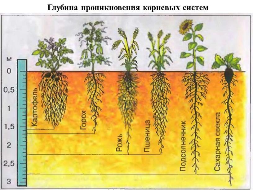 Глубина проникновения корневых систем