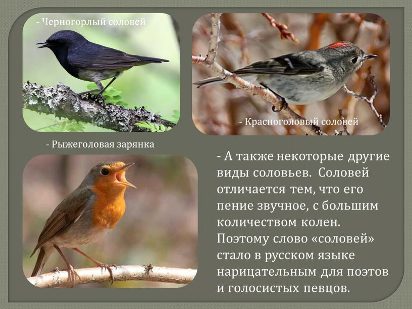 Черногорлый соловей - Красноголовый соловей -