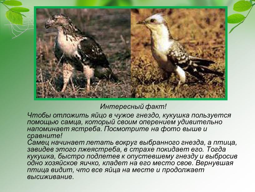 Интересный факт! Чтобы отложить яйцо в чужое гнездо, кукушка пользуется помощью самца, который своим оперением удивительно напоминает ястреба