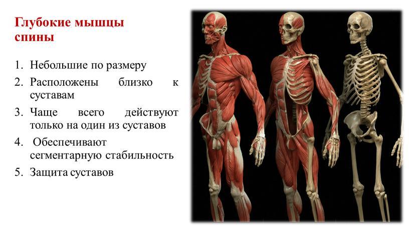 Глубокие мышцы спины Небольшие по размеру