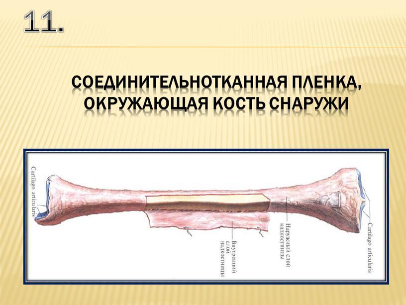 11. соединительнотканная пленка, окружающая кость снаружи