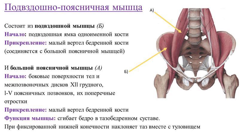 Подвздошно-поясничная мышца Состоит из подвздошной мышцы (Б)