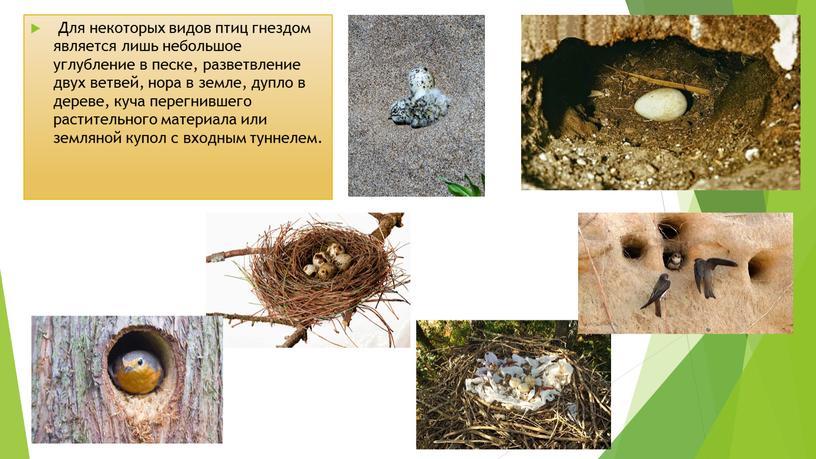 Для некоторых видов птиц гнездом является лишь небольшое углубление в песке, разветвление двух ветвей, нора в земле, дупло в дереве, куча перегнившего растительного материала или…