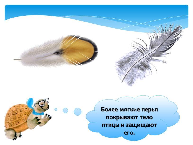Более мягкие перья покрывают тело птицы и защищают его