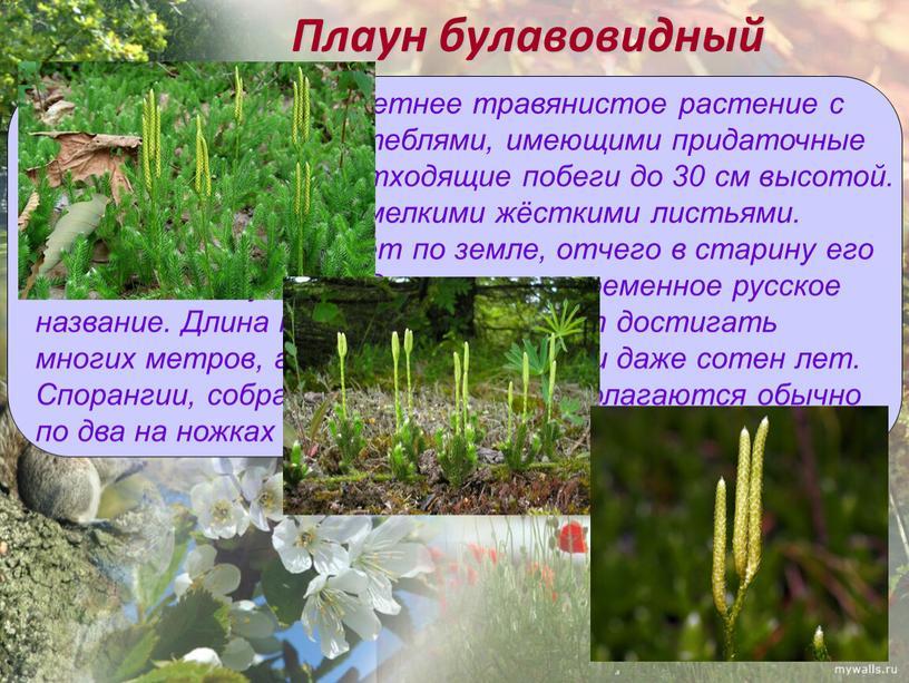 Плаун булавовидный Вечнозелёное многолетнее травянистое растение с длинными ползучими стеблями, имеющими придаточные корни и вертикально отходящие побеги до 30 см высотой
