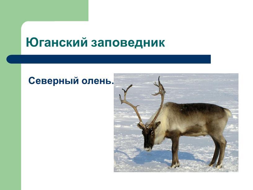 Юганский заповедник Северный олень